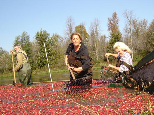 the most labour intensive part of harvesting cranberries